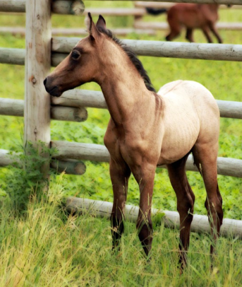 mangalarga marchador colt photo by Donna Dean