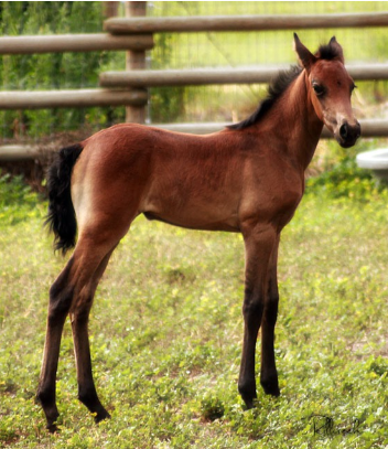 mangalarga marchador filly photo by Donna Dean